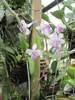 Phalaenopsis lindenii 082319