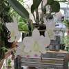 Cattleya walkeriana var 'kenny' 031720
