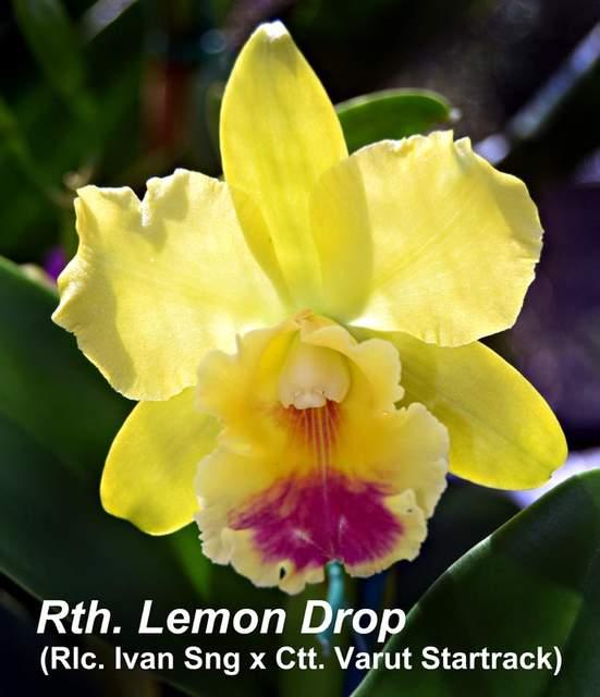 Rth. lemon drop