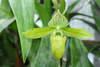Paphiopedilum callosum 052717