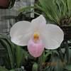 Paphiopedilum delenatii 051020