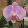 Phalaenopsis mary crocker 'perfection' 032219