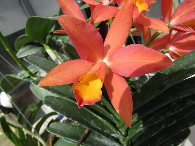 Cattleya carribean orange bowl 032519