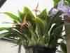 Bulbophyllum jersey 082319