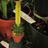 Gastrochilus retrochillosus 101219