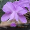 Cattleya loddigessii 'aranda x a dor a bil' 030520