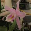 Cattleya maxima var concolor 'newberry' 9868
