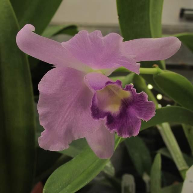 Cattleya coerulea 'sir jeremiah colman' m8069 101619