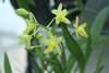 Ansellia africana var alba 'garden party'