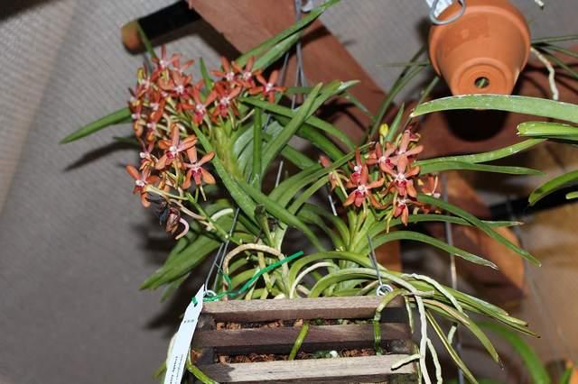 Nakamotoara newberry apricot 061517