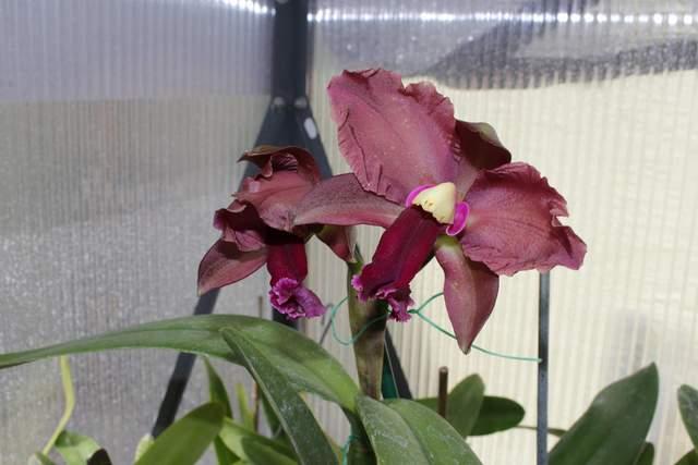 Cattleya bicolor x oconee 081817