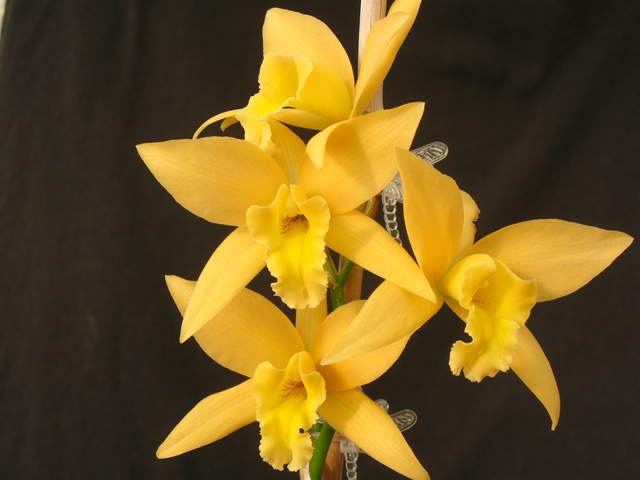 L. canariensis