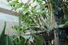 Dendrobium crumenatum 071318