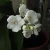 Sarcochilus picotee 'spring snow' 'starlet'