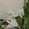 Laelia purpurata alba 'new snow' 050420