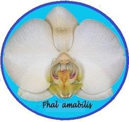Phal amabilis