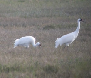 Whooping Cranes Nick Anich