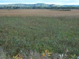 Arena Cattail Marsh