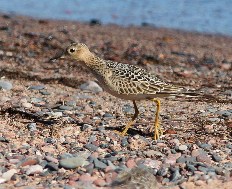 Buff-breasted Sandpiper by Ted Keyel