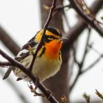 Blackburnian Warbler by Ted Keyel