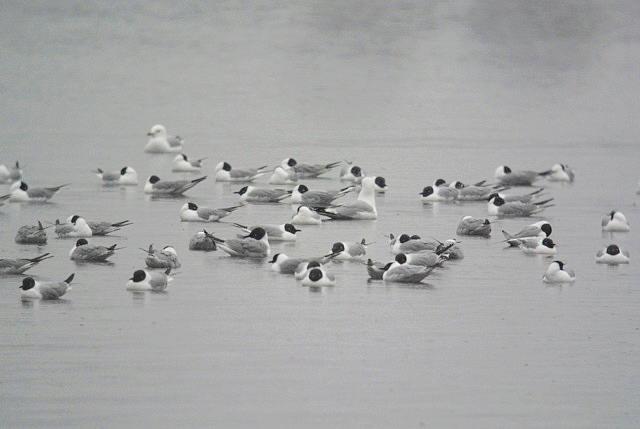 Bonaparte's Gulls, Lake Wausau by Myles Hurlburt