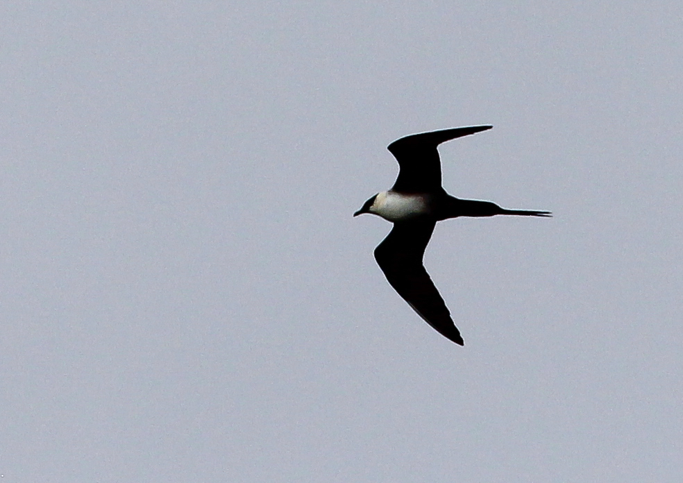 Long-tailed Jaeger by Ted Keyel