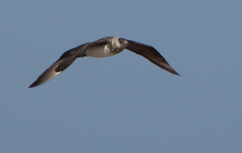Parasitic Jaeger by Ted Keyel