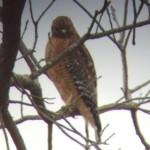 Res-shouldered Hawk