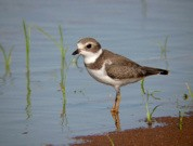Semipalmated Plover - Photo by Ryan Brady
