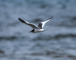 Sabine's Gull by Cynthia Bridge