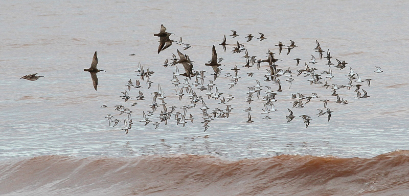 Whimbrel flock by Ted Keyel