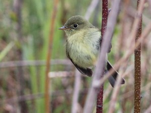 Yellow-bellied Flycatcher by Ted Keyel