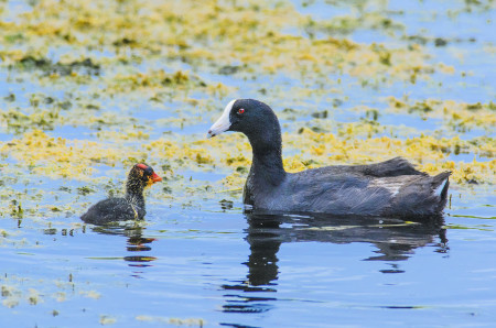 """The Caribbean Coot, with its white shield extending up on to the top of the head, is no longer regarded as a separate species, but rather a sub-species of the American Coot. Enter your sightings in eBird Caribbean as """"American Coot (White-shielded)."""" Photo by Mario Espinosa."""