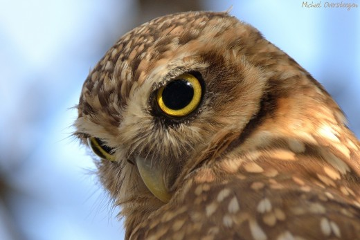 Burrowing Owl (Athene cunicularia) by Michiel Oversteegen/Macaulay Library.