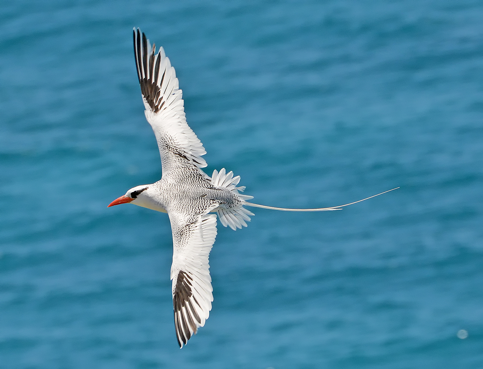 Red-billed Tropicbird (Phaethon aethereus), one of two species of tropicbirds found in the Caribbean. Photograph by Ted Lee Eubanks.