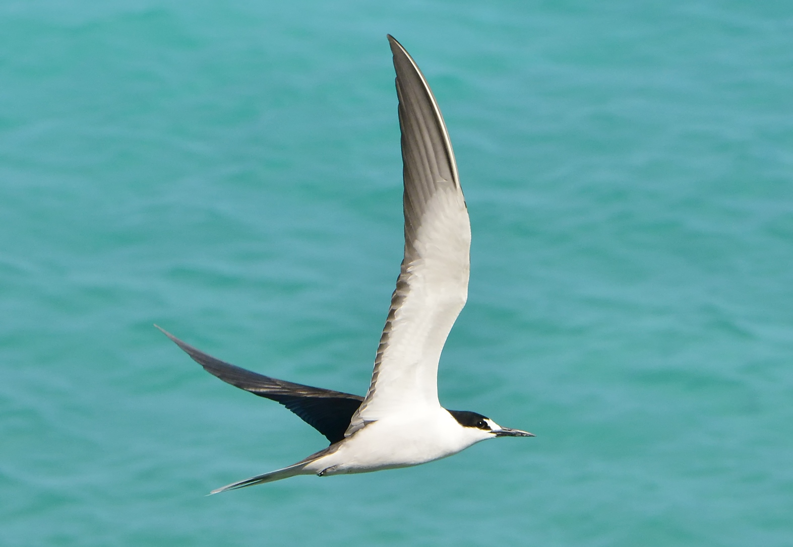 Sooty Tern (Onychoprion fuscatus). Both the Sooty Tern and and very similar Bridled Tern (O. anaethetus) are common Caribbean pelagic seabirds. Photograph by Ted Lee Eubanks.