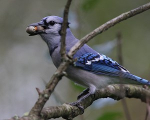 Blue Jay with Acorns by Jake Dingel