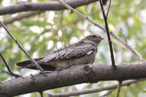 Perched Common Nighthawk by Alex Lamoreaux