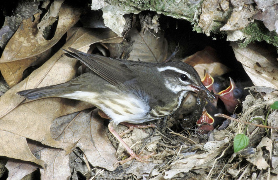 Louisiana Waterthrush The Feathered Trout Pennsylvania Ebird