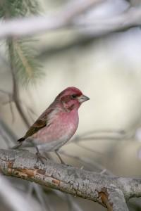 Male Purple Finch by J. Dingel, PGC