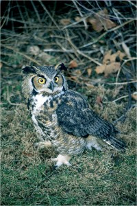 Great Horned Owl by Wayne Laubscher