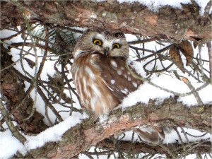 A wintery Northern Saw-whet Owl by Wayne Laubscher