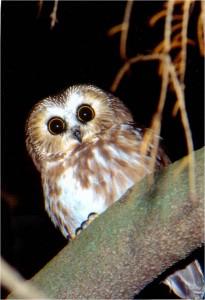 Northern Saw-whet Owl by Wayne Laubscher
