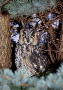 Long-eared Owl on roost by Wayne Laubscher