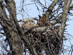 Great Horned Owls on nest, adult with young, by Wayne Laubscher