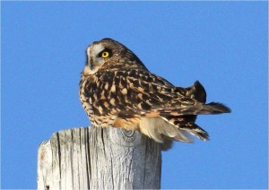 The endangered Short-eared Owl perched on a post by Wayne Laubscher
