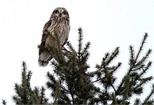 Short-eared Owl perched by Wayne Laubscher