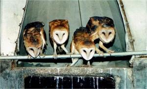 Barn Owls in their native habitat, by Wayne Laubscher