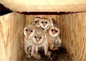 Barn Owl nestlings by Wayne Laubscher