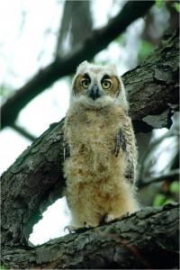 Fledgling Great Horned Owl by Wayne Laubscher